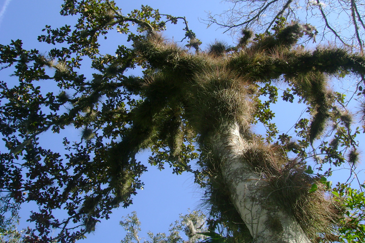 """Fuzzy Tree"", Daubenmire Trail, Flat Island Preserve<br /> Photo by James Manning"