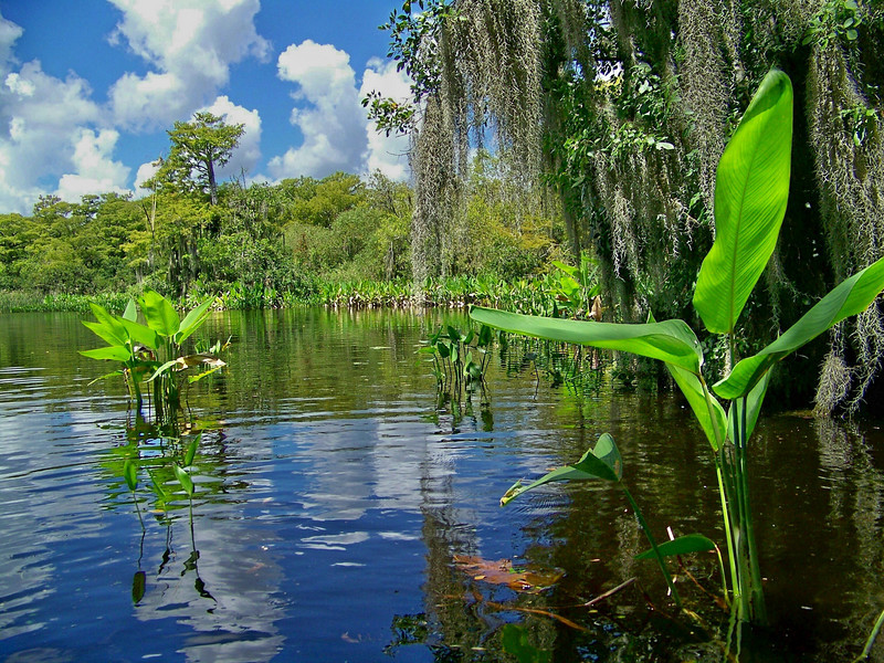 Roberts Lake in Big Cypress National Preserve is a haven for alligators<br /> Photo by Tom Caldwell