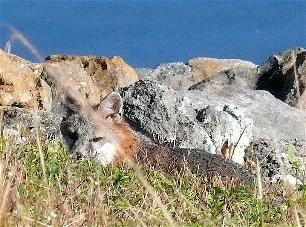 "Gray fox on Lake Okeechobee dike, Big ""O"" November 2008<br /> Photo by Jack Hailman"