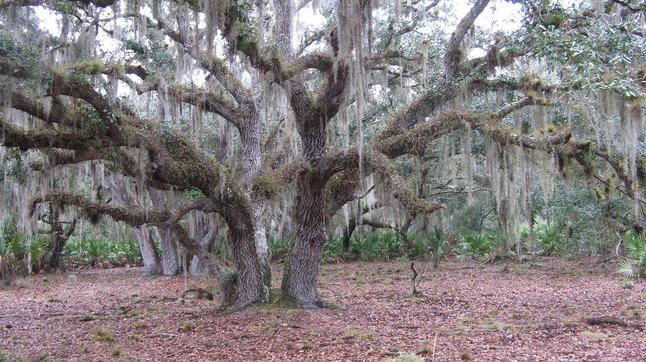 Hickory Hammock Oak<br /> Photo by Paul Cummings