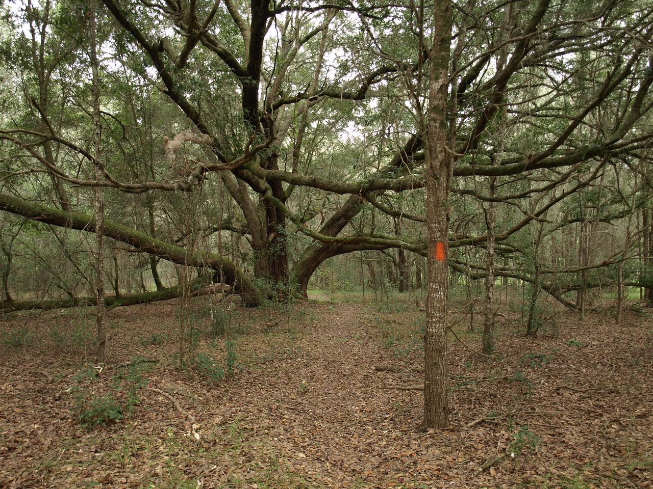 Grandaddy Oak on the Florida Trail<br /> Photo by Connie Hagelshaw