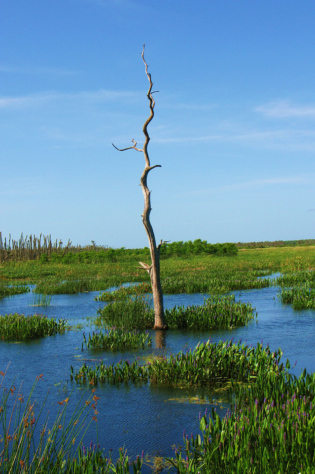 Lone Tree in the Wetlands<br /> Photo by Mario Corazon