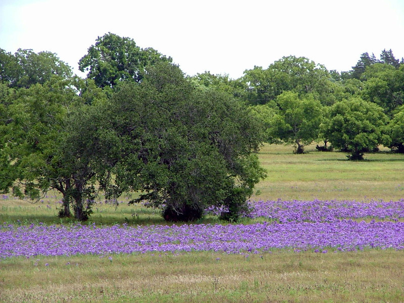 Bluebells and Live Oaks