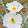 Prickly Poppy with Bee