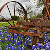 Bluebonnets and Old Barns