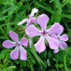 Painted Phlox