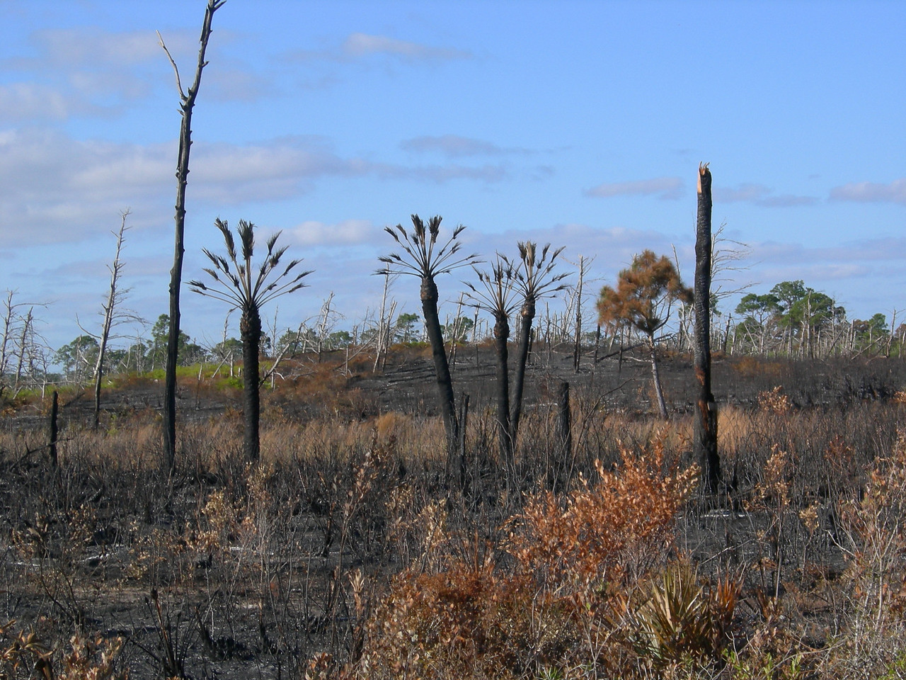 Jonathan Dickinson State Park, East Loop, after the burn<br /> Photo by Winnie Lo