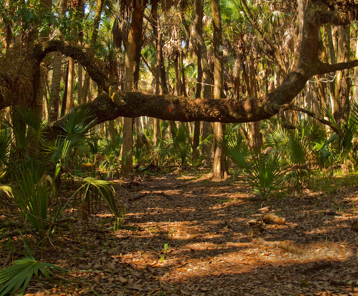 Oak Arch Over Trail<br /> Photo by Douglas Sphar