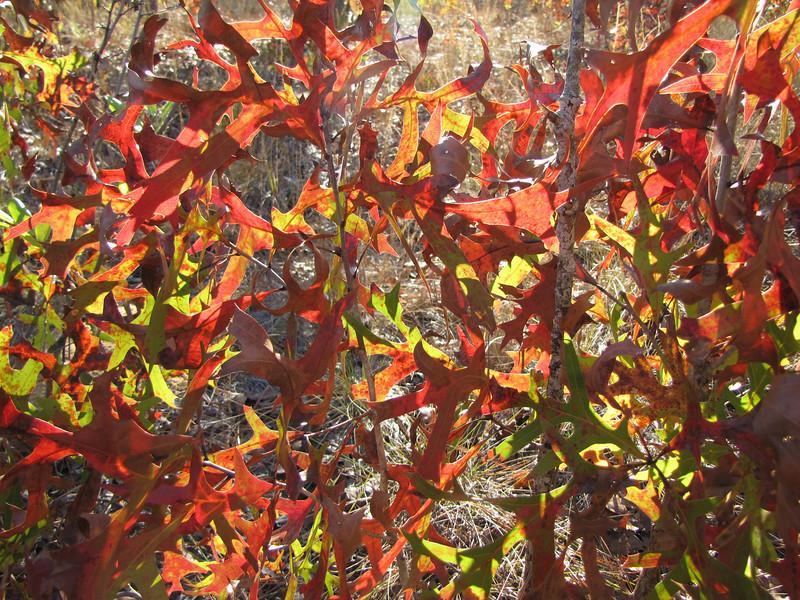 Turkey Oak Kaleidoscope<br /> Photo by Tom Regan