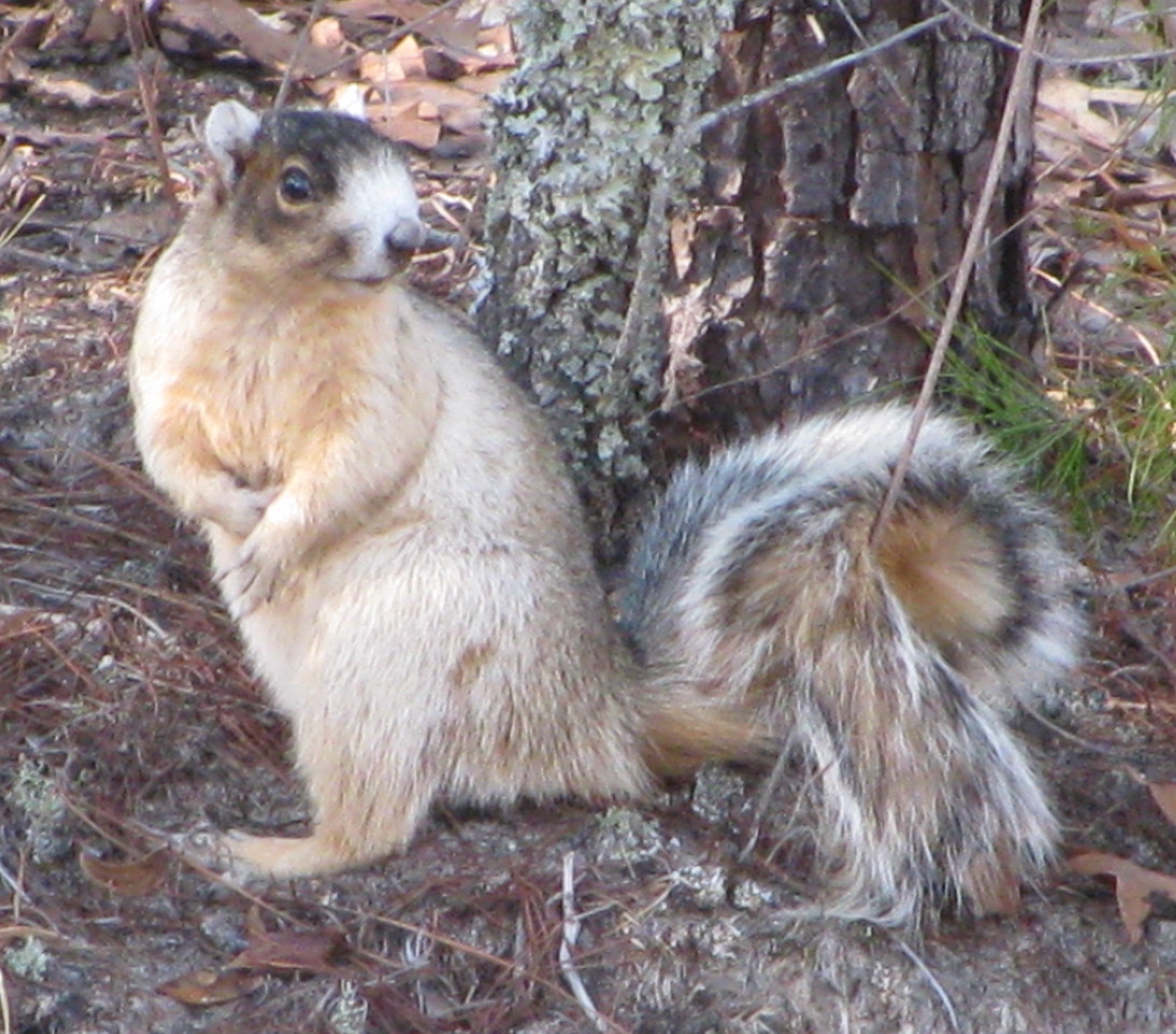 Fox Squirrel<br /> Photo by Wallis Mayo