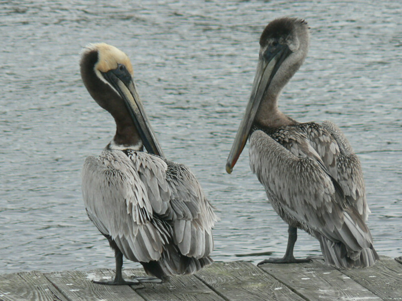 Chatty pelicans at St. Marks<br /> Photo by George Meek