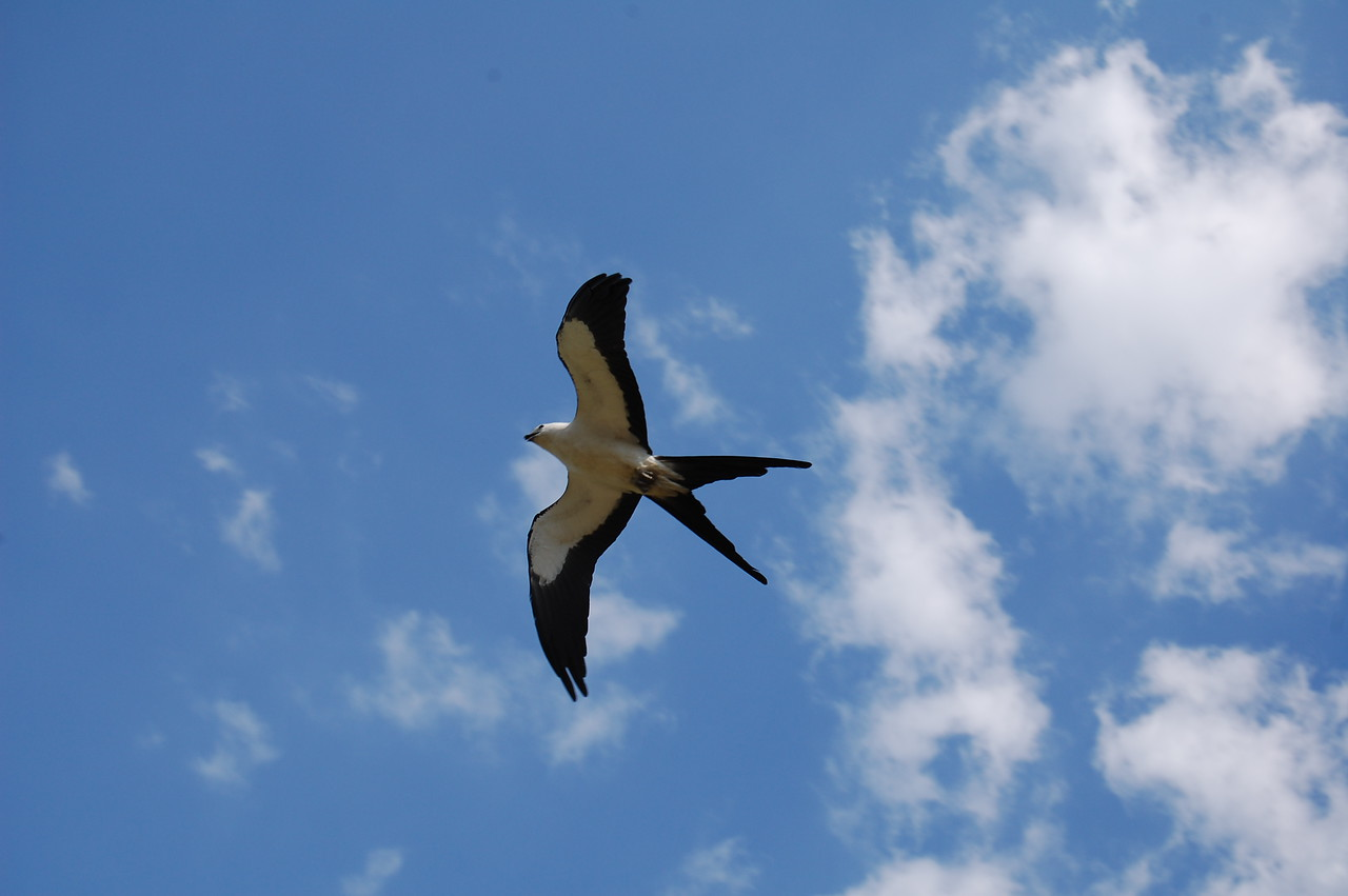 Swallow-tailed Kite glides above the Florida Trail<br /> Photo by Dave Griswold