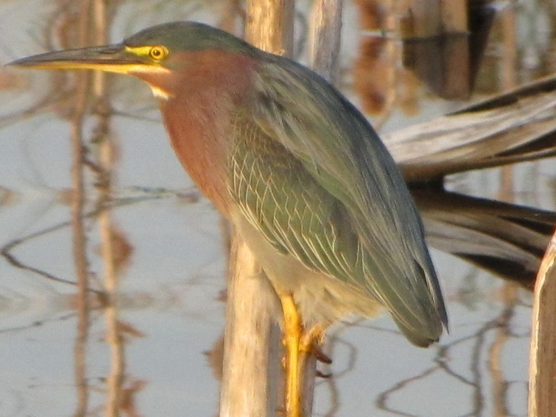 Late Day Reflections – Green Heron<br /> Photo by Tom Regan