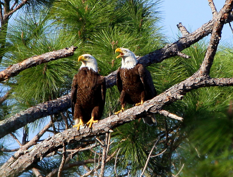 FIRST PLACE<br /> Eagle Pair sqawking along the Florida Trail<br /> Photo by Barbara Bowen