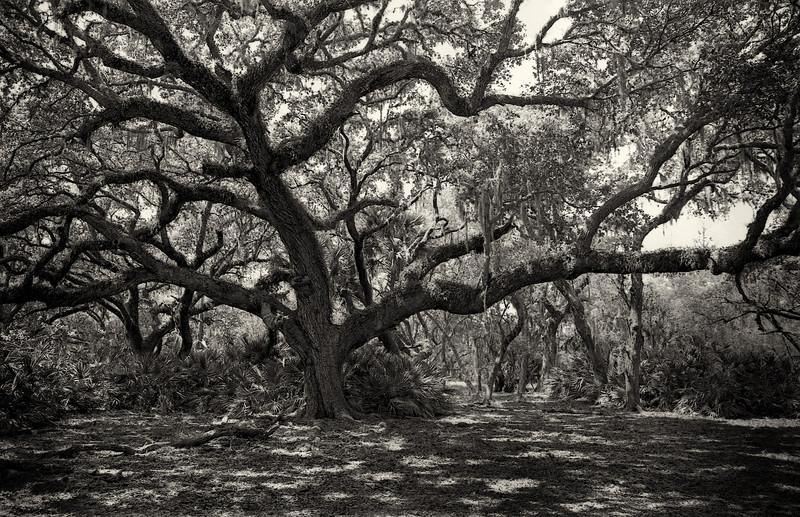 Old Oak Spreads Its Limbs<br /> Photo by Douglas Sphar