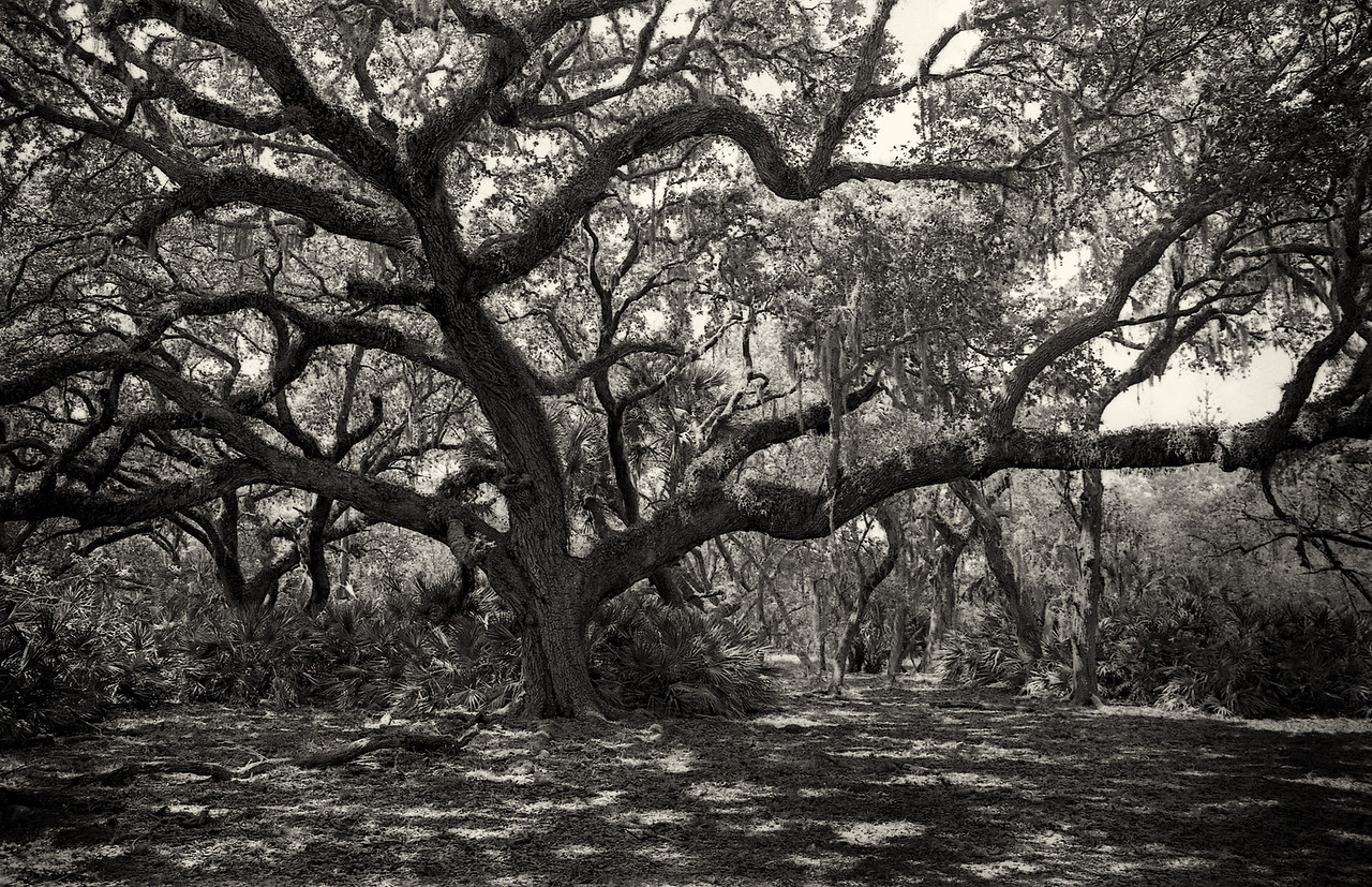 Old Oak Spreads Its Limbs<br /> Photo by Douglas Sphar
