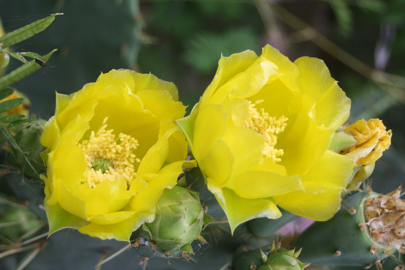 Cecil Carter — Cactus Flowers