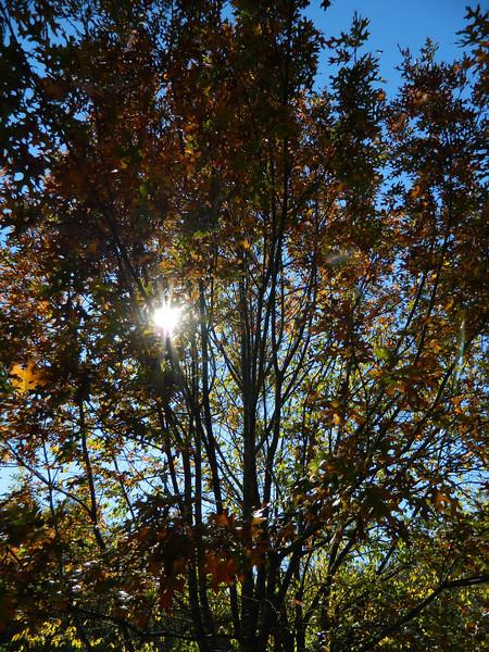 Cecil Carter — Red Oak at Sundown