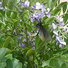 Rachel Cywinski — Winging a drink: Sophora secundiflora with black swallowtail butterfly