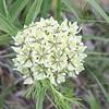 Cecil Carter — Milkweed Blooming