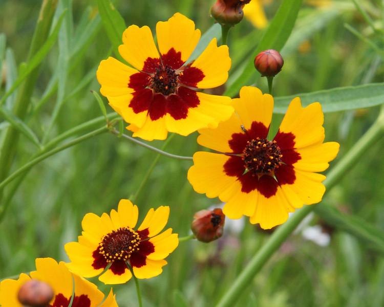 Carroll Flournoy — Plains Coreopsis (Coreopsis tinctoria)