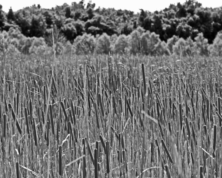 Robert Kamper - Cattails in a wet landscape
