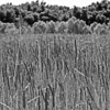 Robert Kamper - Cattails in a wet landscape