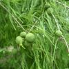 Rachel Cywinski - Cypress seeds