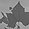 Robert Kamper  - American sycamore leaves
