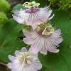 Rachel Cywinski - Passion petals