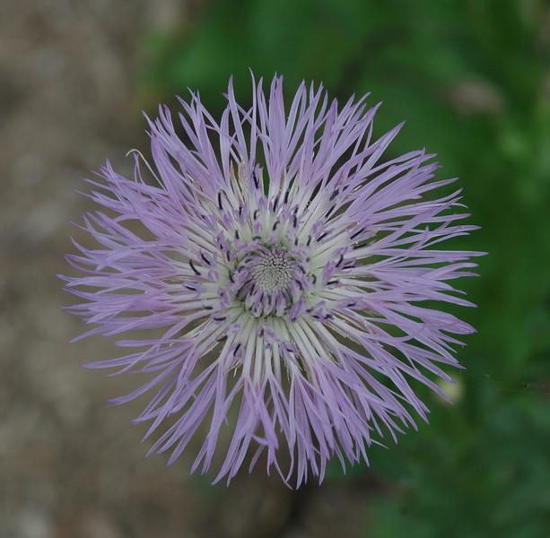 Linda Langlitz - American basketflower
