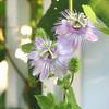 Deedy Wright - Passion flower