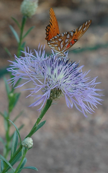 Linda Langlitz - American Basketflower Inflorescence