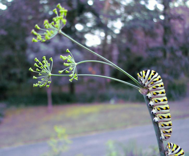 Caterpillars on Dill