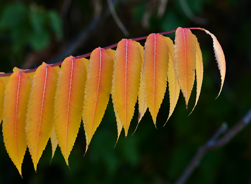 Sumac in Autumn