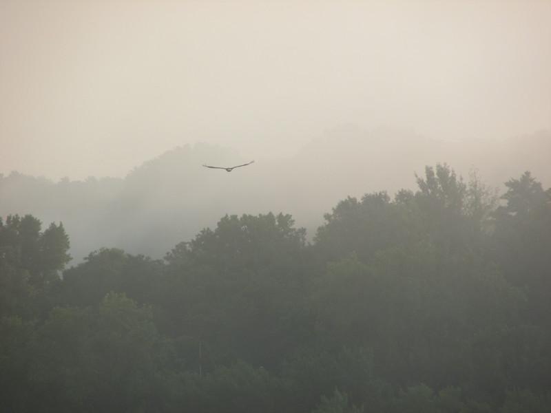 Eagle In Fog