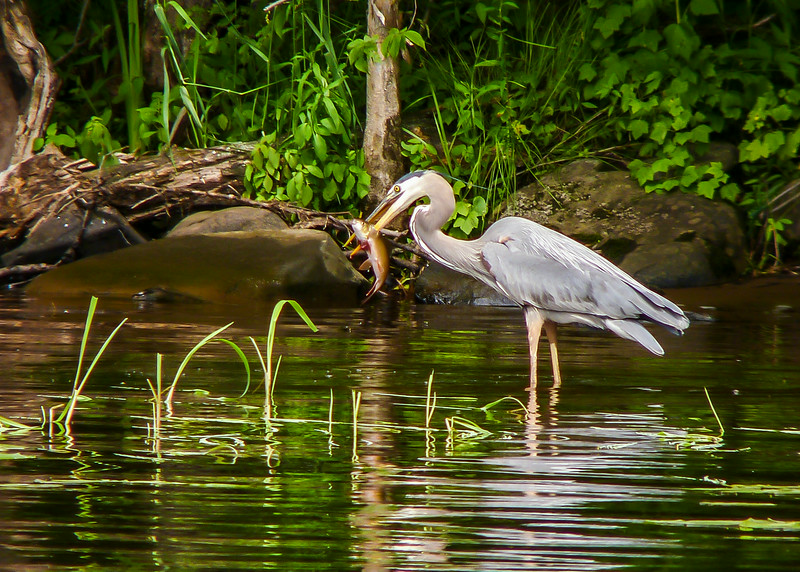 Shore Lunch (Second Place Winner: Adult Wildlife)