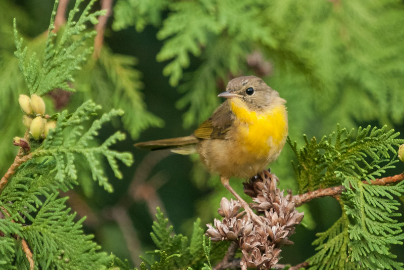 Nashville Warbler (First Place Winner: Youth Wildlife)