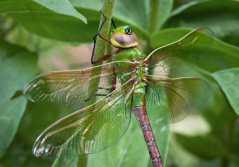 Green Darner (Third Place Winner: Adult Close-Up)