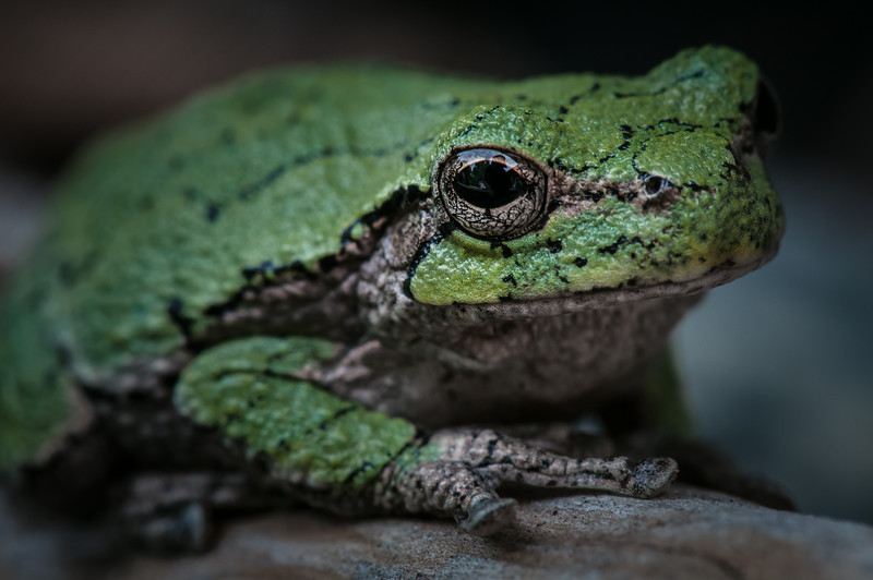 Tree Frog (Second Place Winner: Adult Close-Up)
