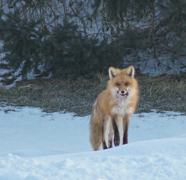 Fox (First Place Winner: Adult Wildlife)
