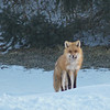 Fox (First Place Winner: Adult Wildlife)