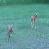 Frolicking Fawns