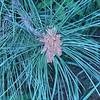 Pine Growth