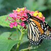 Monarch (Second Place Winner: Youth Wildlife)