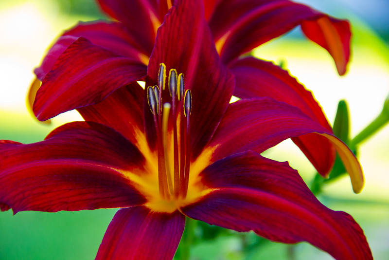 Red Daylily 1
