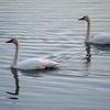 November Swan Visit