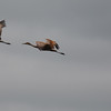 Red-winged Blackbird Chasing Sandhill Cranes