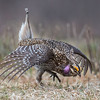 Sharp-Tailed Grouse Mating Dance (Second Place: Adult Wildlife)