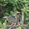 Green Heron Nestlings (First Place: Adult Wildlife)